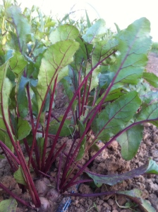 Beets starting to fill out