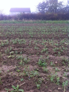 winter pea cover crop