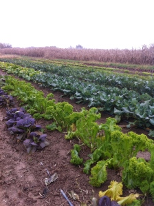mustard greens, bok choi, and broccoli in the field