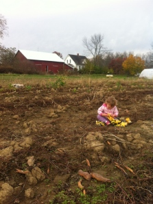 Isla playing trucks in the freshly dug sweet potato field