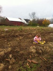 Isla playing trucks in the freshly dug sweet potato field