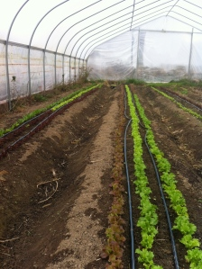 lettuces in the hoop house