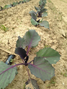 We are growing red cabbage for the first time
