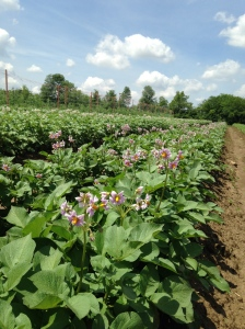 Potatoes in their flowering glory