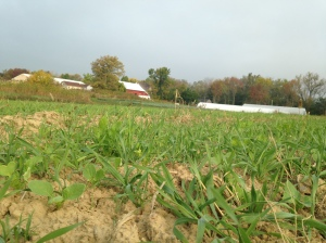 Cover crop of winter rye and tillage radish will set us up for nice soil come spring!