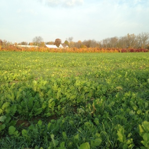 Nice stand of cover crop for the winter (winter rye and tillage radish)
