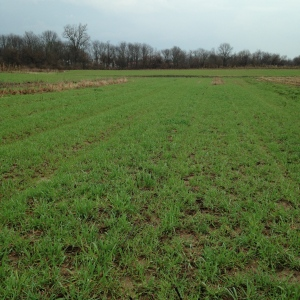Lush cover crop of winter rye coming out of dormancy