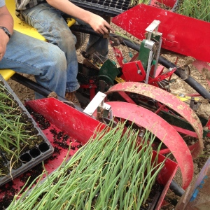 Mechanical transplanter set up for onions