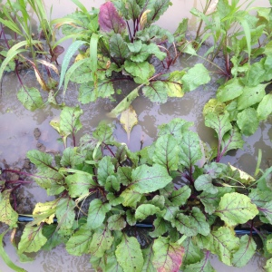 Despite raised beds, beets swimming in water