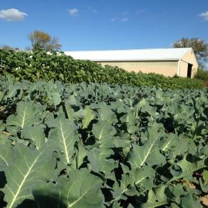 Final planting of broccoli has us feeling like successful farmers again