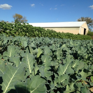 Final planting of broccoli has us feeling like successful farmers again