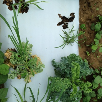 healthy kale right along side 2 dead kale plants and one on its way out