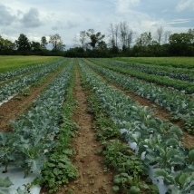 Brassica block in the middle of the raining week